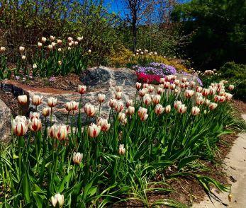 U1 Canada 150 Tulip Photo